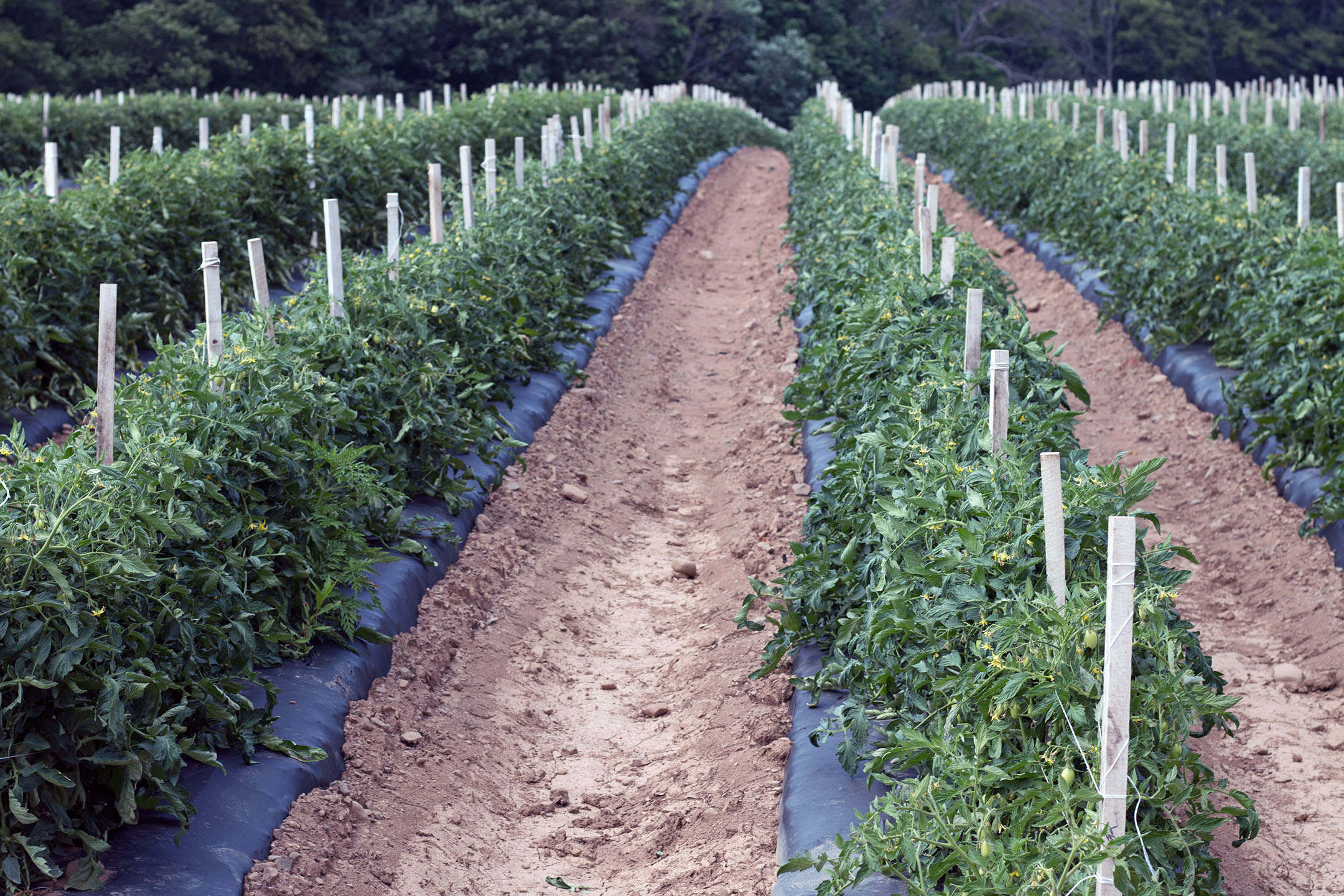 Rows of tomatoes planted in raised beds and black plastic mulch at Cecarelli Farms on July 13th, 2018.