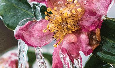 Frozen peach blossom