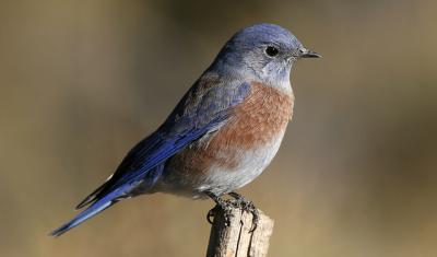 bluebird sitting on stick, USDA