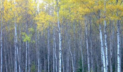 Stand of birch trees in the northwoods