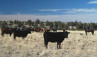 NW Cattle