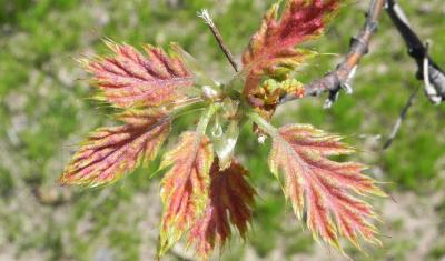 Red oak tree leafing out in spring
