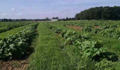 Teff seeded between rows of pumpkins at URI's agronomy farm. Photo by Dr. Rebecca Brown.