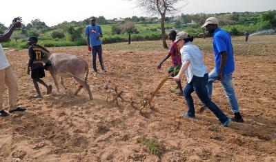 Rachel Schattman learns to plow using animal power in Thies, Senegal.