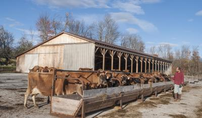 Afternoon feeding by pole barn at Clovercrest Farm