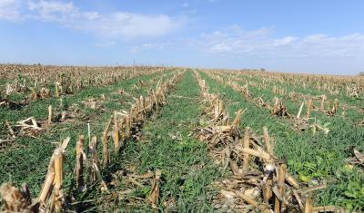 Corn field with cover crop