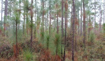 longleaf-pines