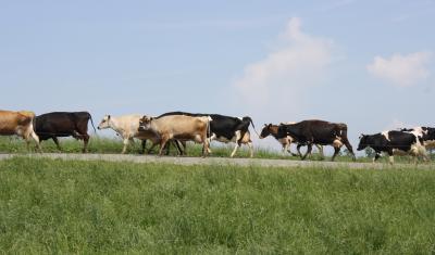 Cows on pasture laneway