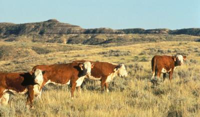 Herford cattle near Miles City, MT