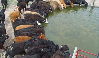 Photo by Matt Mortenson. Steers drinking out of water trough.