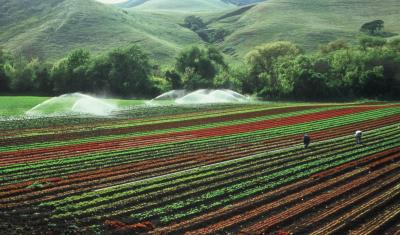 rows of crops with irrigation