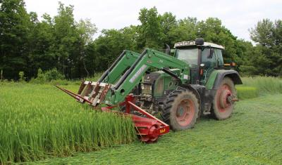 Rolled winter cereal cover crops provide weed suppression for organic no-till production systems.