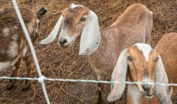 several brown goats in pen