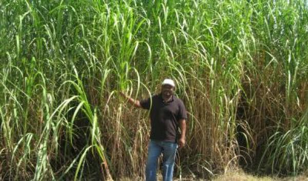 man standing in front of crop being grown for bioenergy