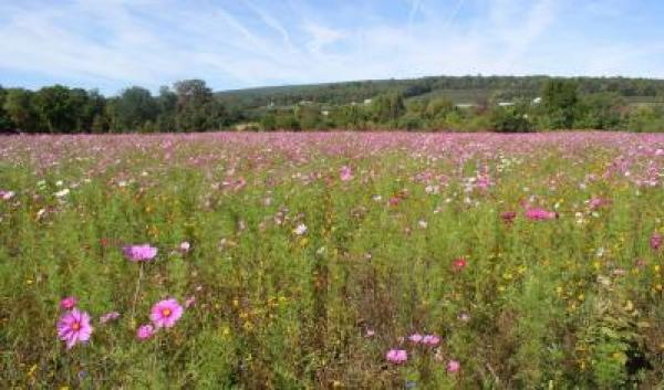 field of purple flowers supporting pollinators