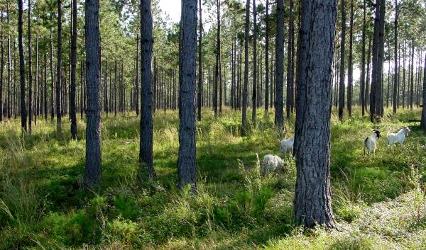 a typical silvopasture field that was developed from a slash pine plantation. Brush species invaded abundantly after the canopy was opened up and goats were used to manage the brush. Jim Robinson, USDA-NRCS