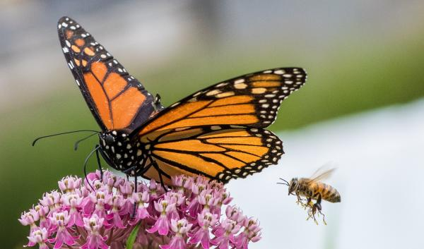 monarch butterfly and a bee visiting a swamp milkweed plant