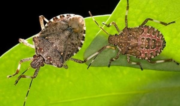 Image brown marmorated stink bug