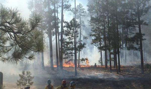 Burning undergrowth in ponderosa pine forest