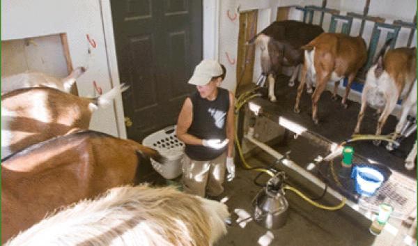 Goat milking at Does Leap Farm