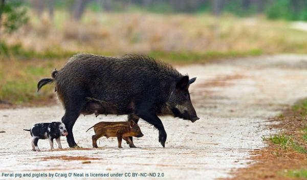 Feral pig and piglets by Craig O Neal is licensed under CC BY-NC-ND 2.0