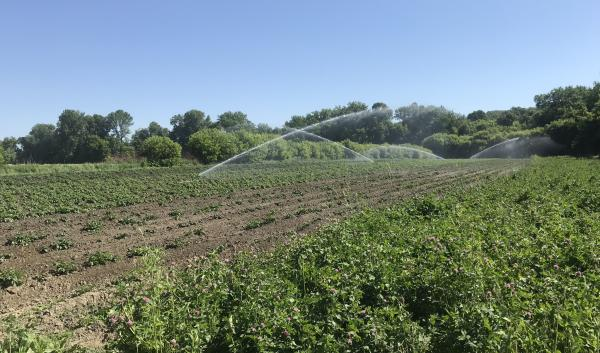 Potatoes irrigated with a solid set system in Burlington VT