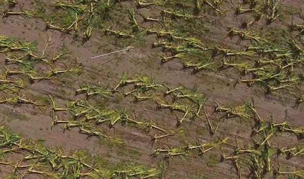 Aerial view of wind damaged crops after a Hurricane