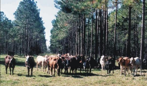 Managing cattle with pine trees