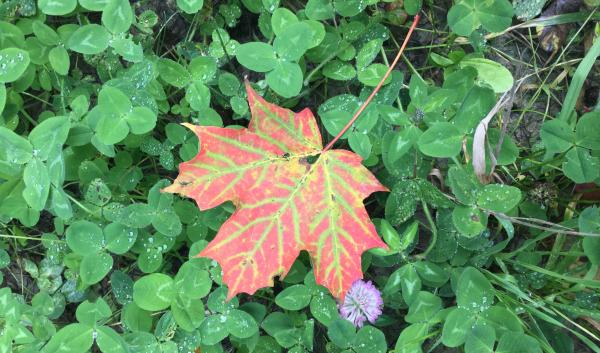 maple leaf on clover