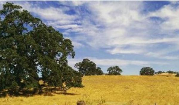 An oak woodland in California.