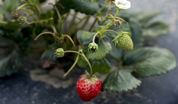 Day neutral strawberries at UNH's Woodman Horticulture Research Farm