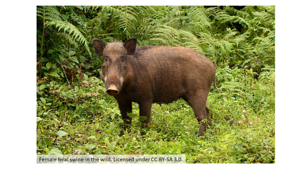 Female feral swine in the wild. Licensed under CC BY-SA 3.0.